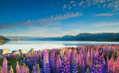 时髦反季游 到南半球的新西兰澳大利亚赏花踏春 新西兰鲁冰花